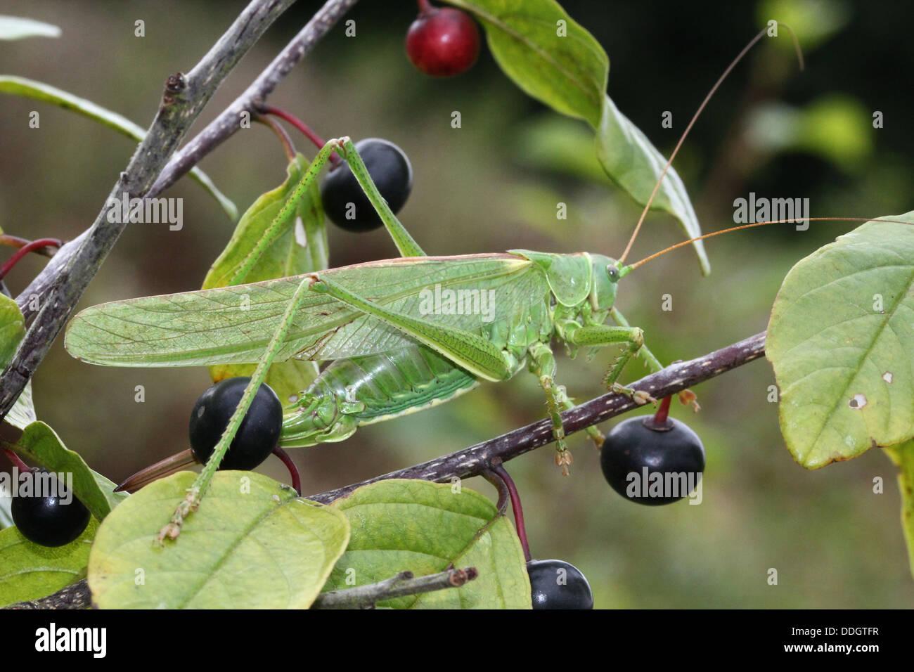 Detaillierte Reihe von Makros einer weiblichen Great Green Bush Grille (Tettigonia Viridissima) Stockbild