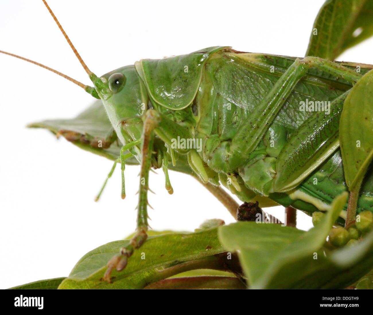 Weiblichen europäischen Great Green Bush Cricket (Tettigonia Viridissima) Inm Nahaufnahme. Stockbild