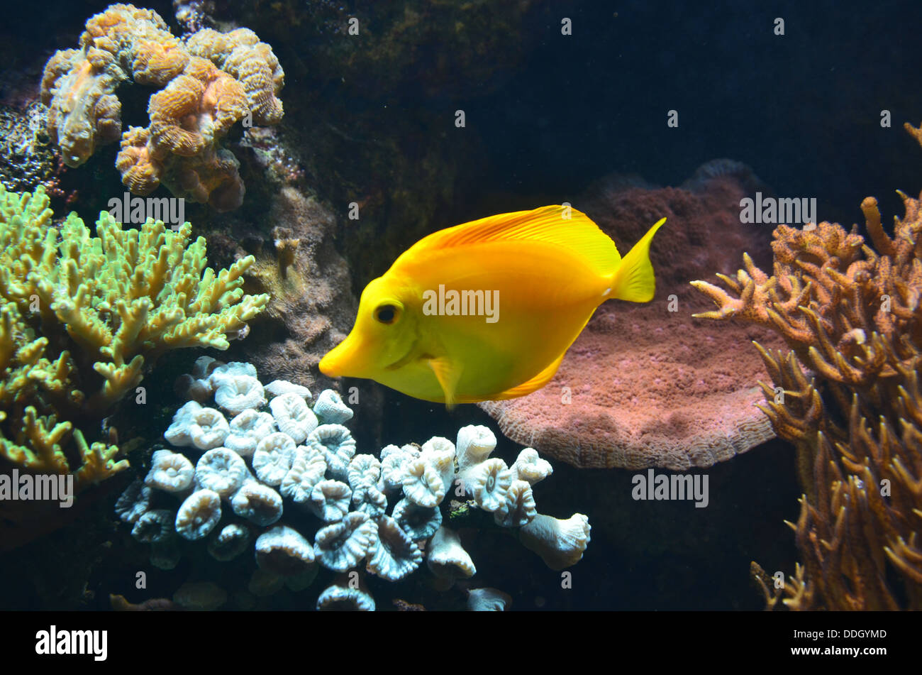 Gelbe tang zebrasoma flavescens ein salzwasserfische for Fische aquarium