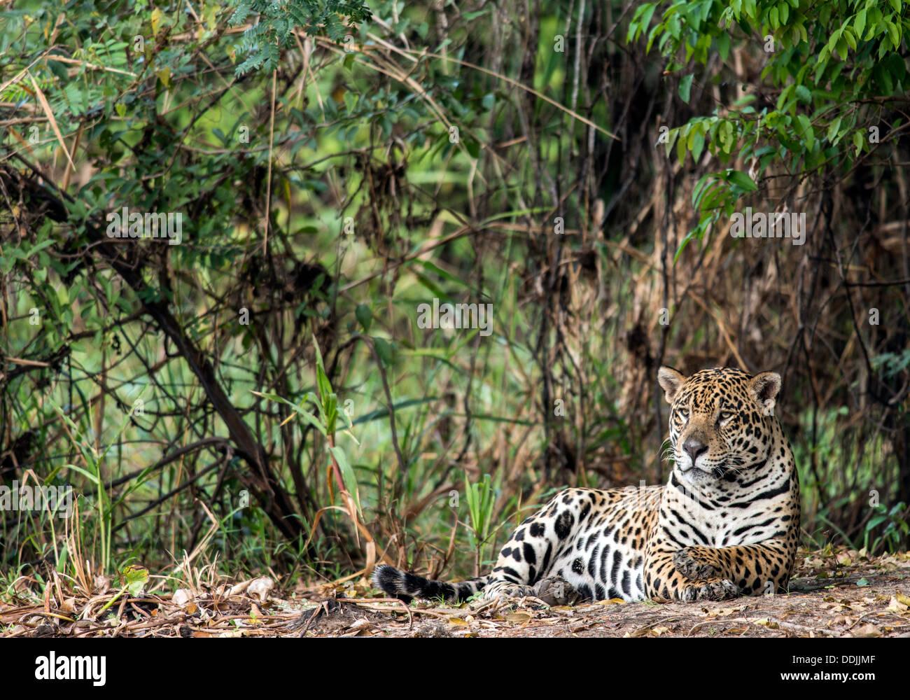Jaguar (Panthera Onca) entspannende neben The Three Brothers Fluss im Pantanal Porto Jofre Mato Grosso Brasil Südamerika Stockbild