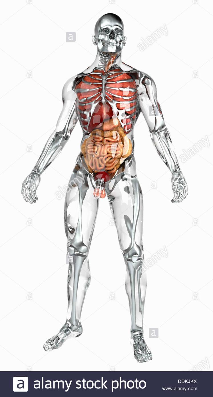 Gemütlich Sichtbar Mann Anatomie Modell Zeitgenössisch - Anatomie ...
