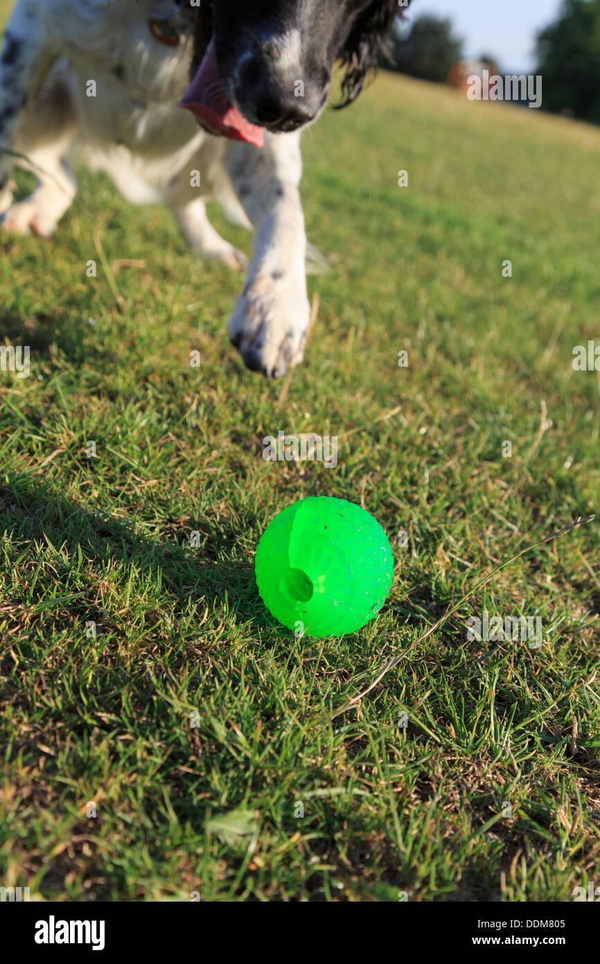 Ein verspielter nach schwarzen und weißen English Springer Spaniel hund jagt ein grüner Ball auf dem Rasen vor der Tür. England Großbritannien Großbritannien Stockbild