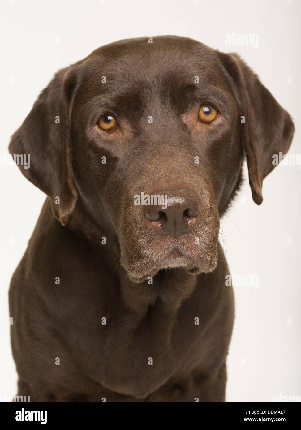 Chocolate Labrador Retriever Erwachsene Hündin Porträt auf weißen Studio-Hintergrund Stockfoto