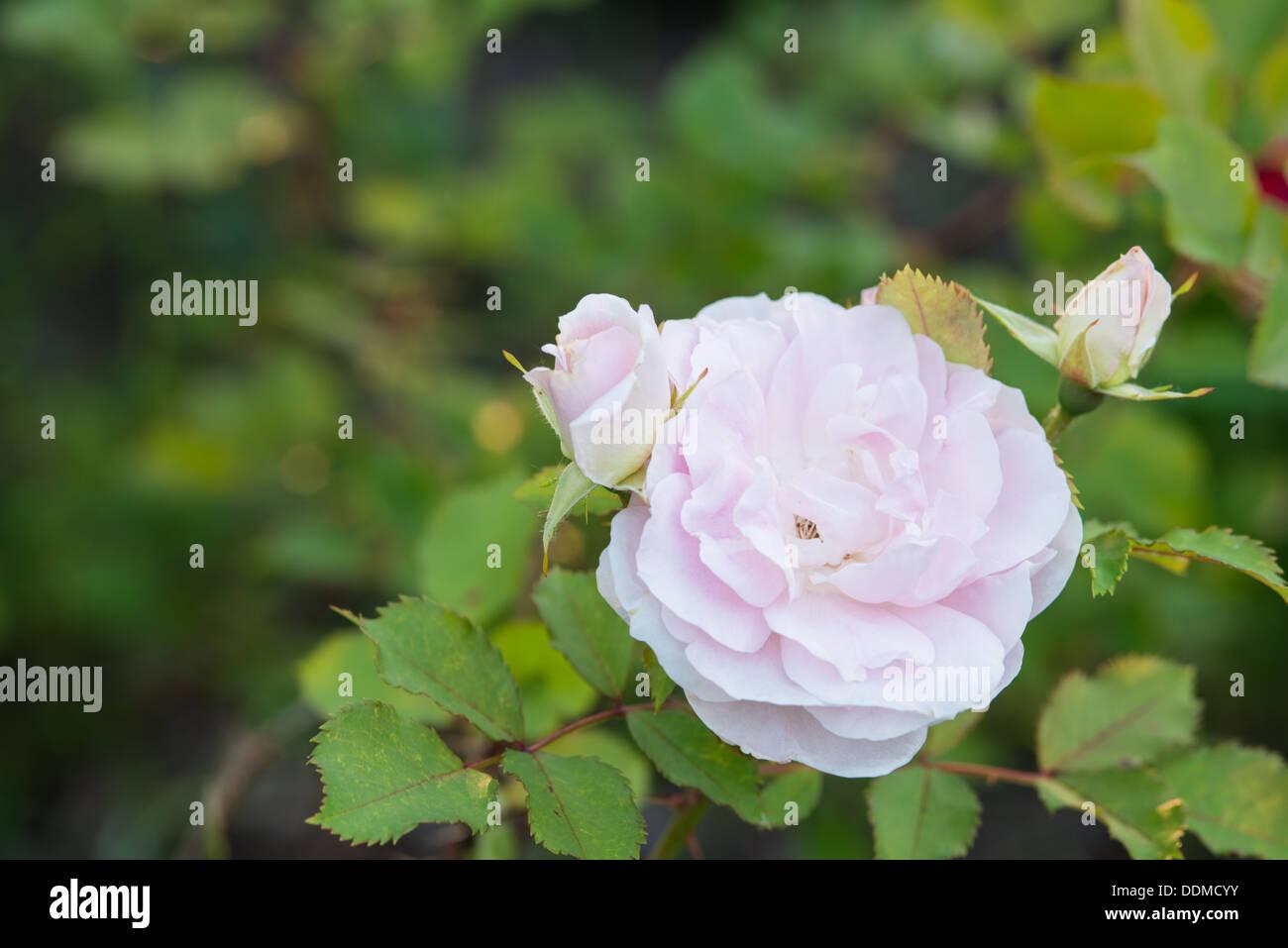 Eine einzelne Morden Röte stieg (Rosa Spp) Blüte, flankiert von zwei Rosenknospen in einem Garten in St. Albert, Alberta Stockbild