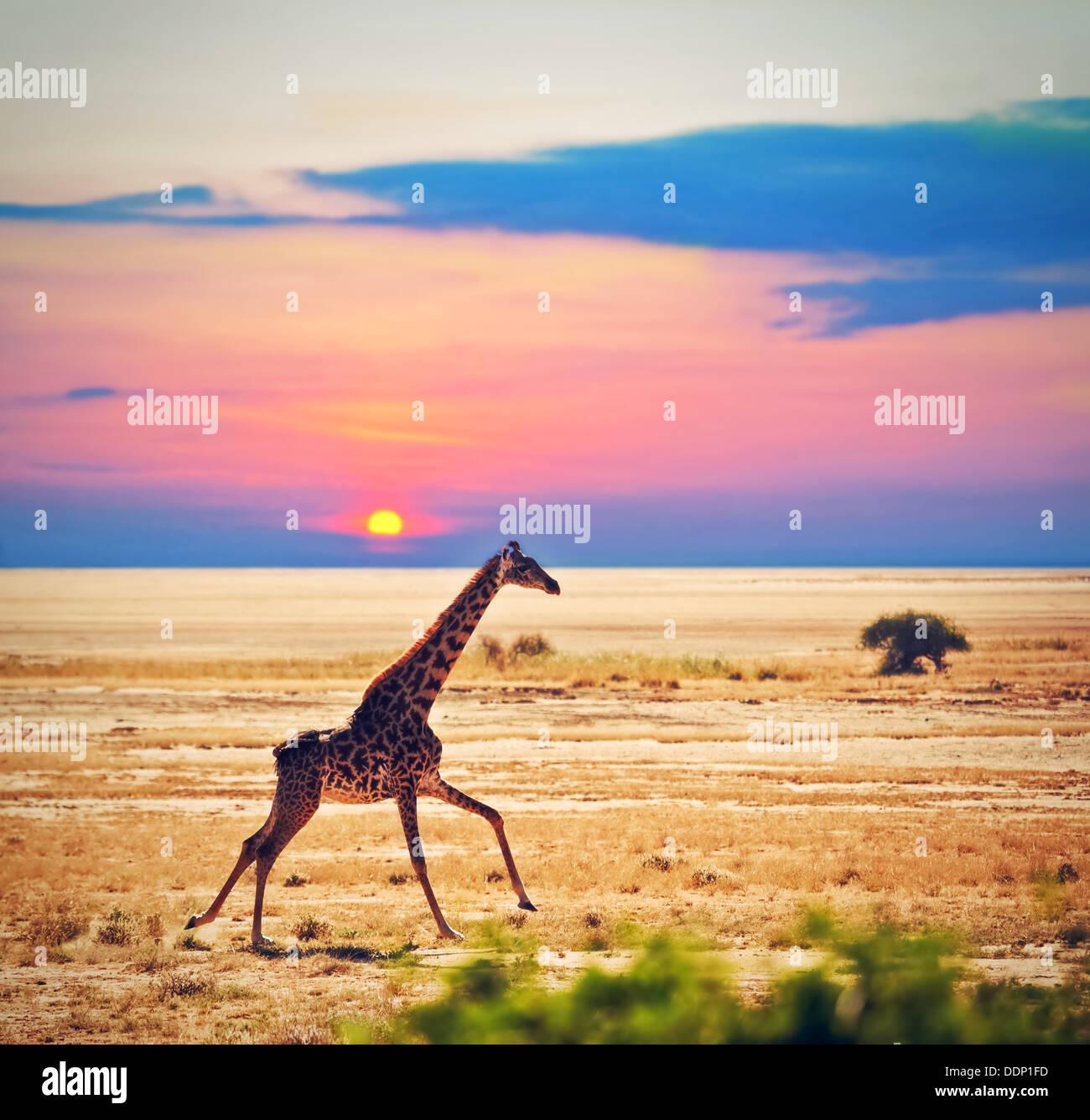 Tierwelt - Giraffe läuft auf der Savanne bei Sonnenuntergang. Safari im Amboseli Nationalpark, Kenia, Afrika Stockbild