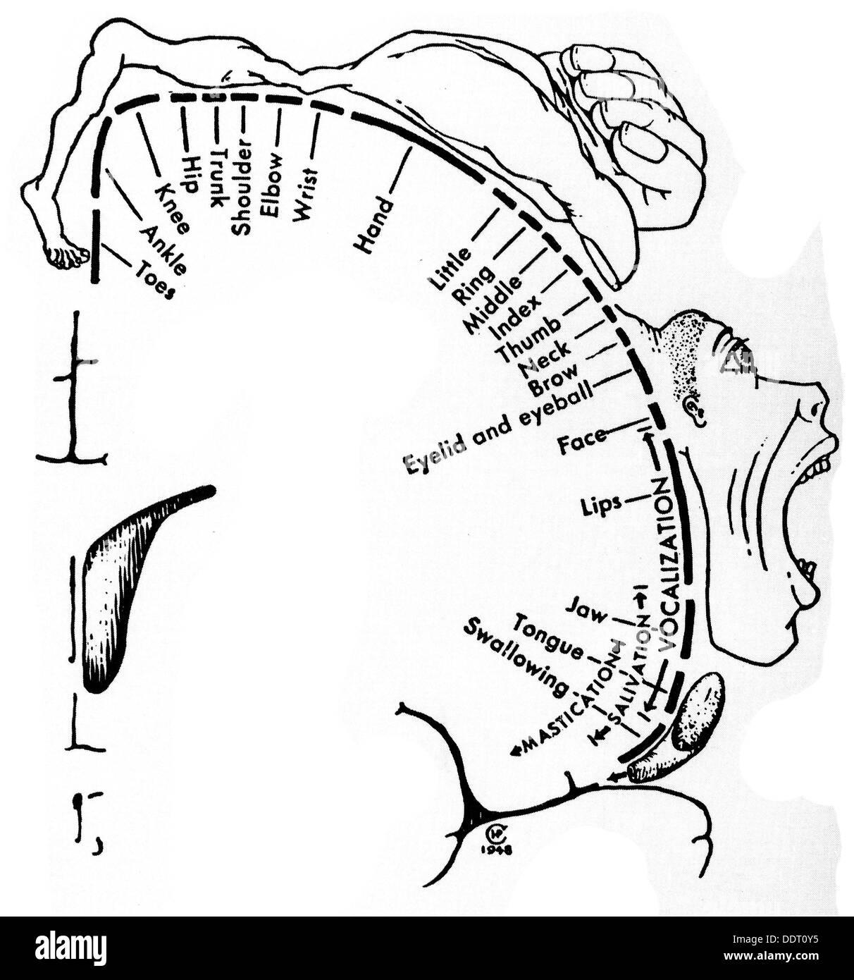 Medizin Anatomie Cerebric / Schädel Waagen der motor Sektoren des ...