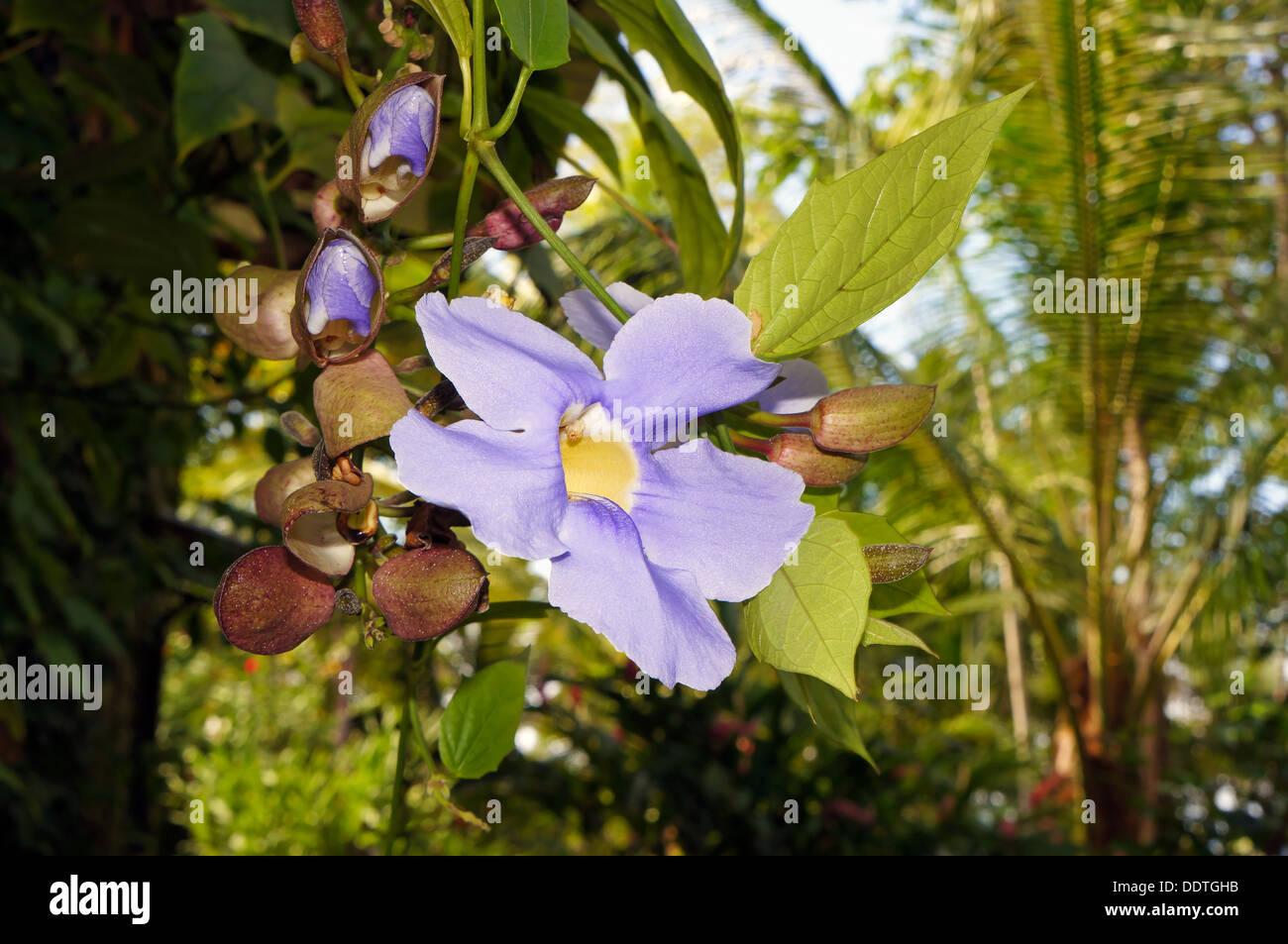 Bengalen Uhr Rebe oder Himmel Blume (Thunbergia Grandiflora) mit Knospen Stockbild
