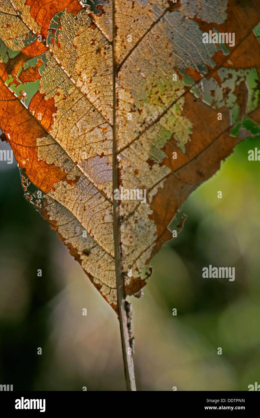 Teakbaum blatt  Welkes Blatt der Teak-Baum, Tectona Grandis L. F Stockfoto, Bild ...