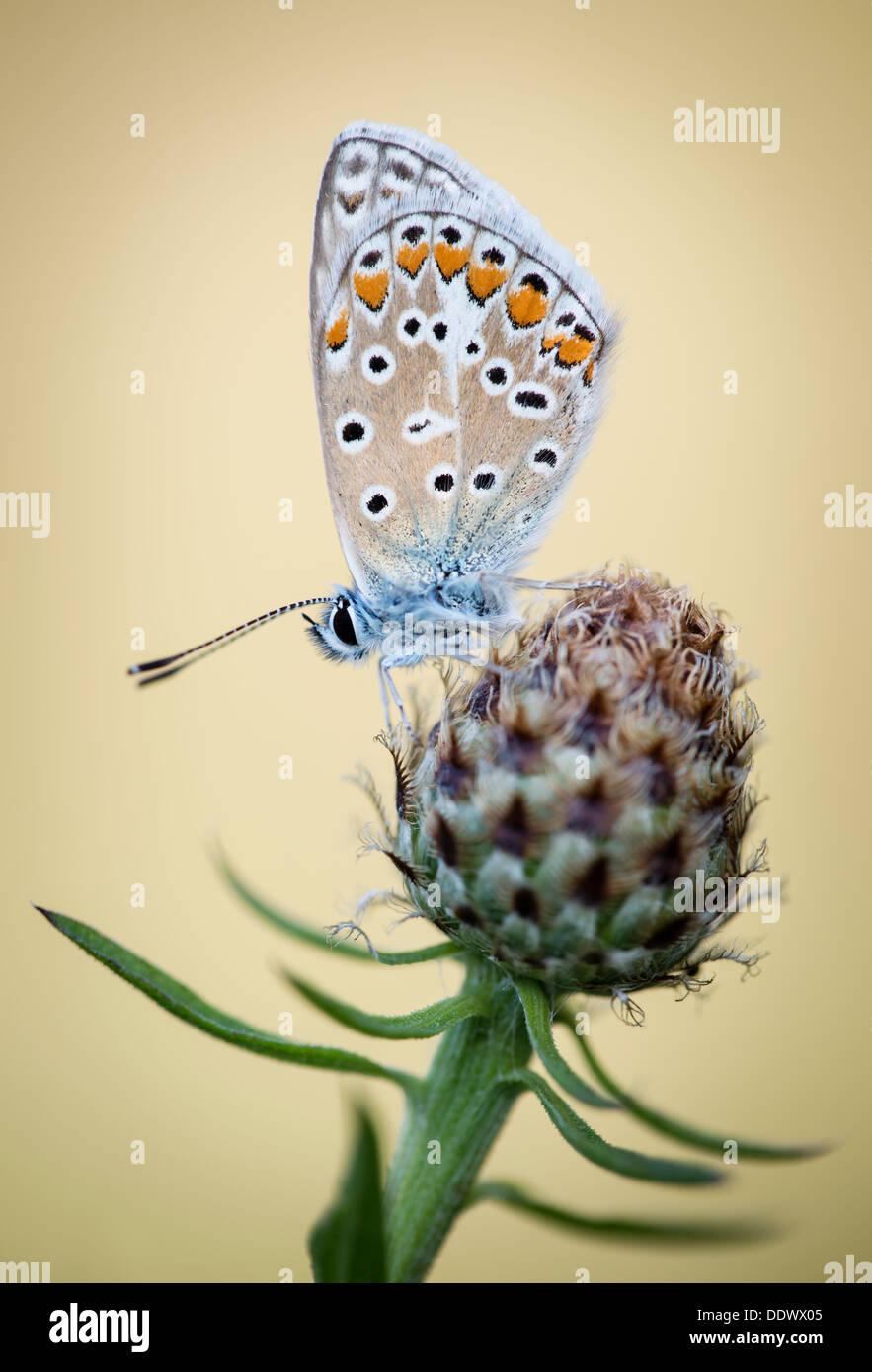 Gemeinsamen blauer Schmetterling Stockbild