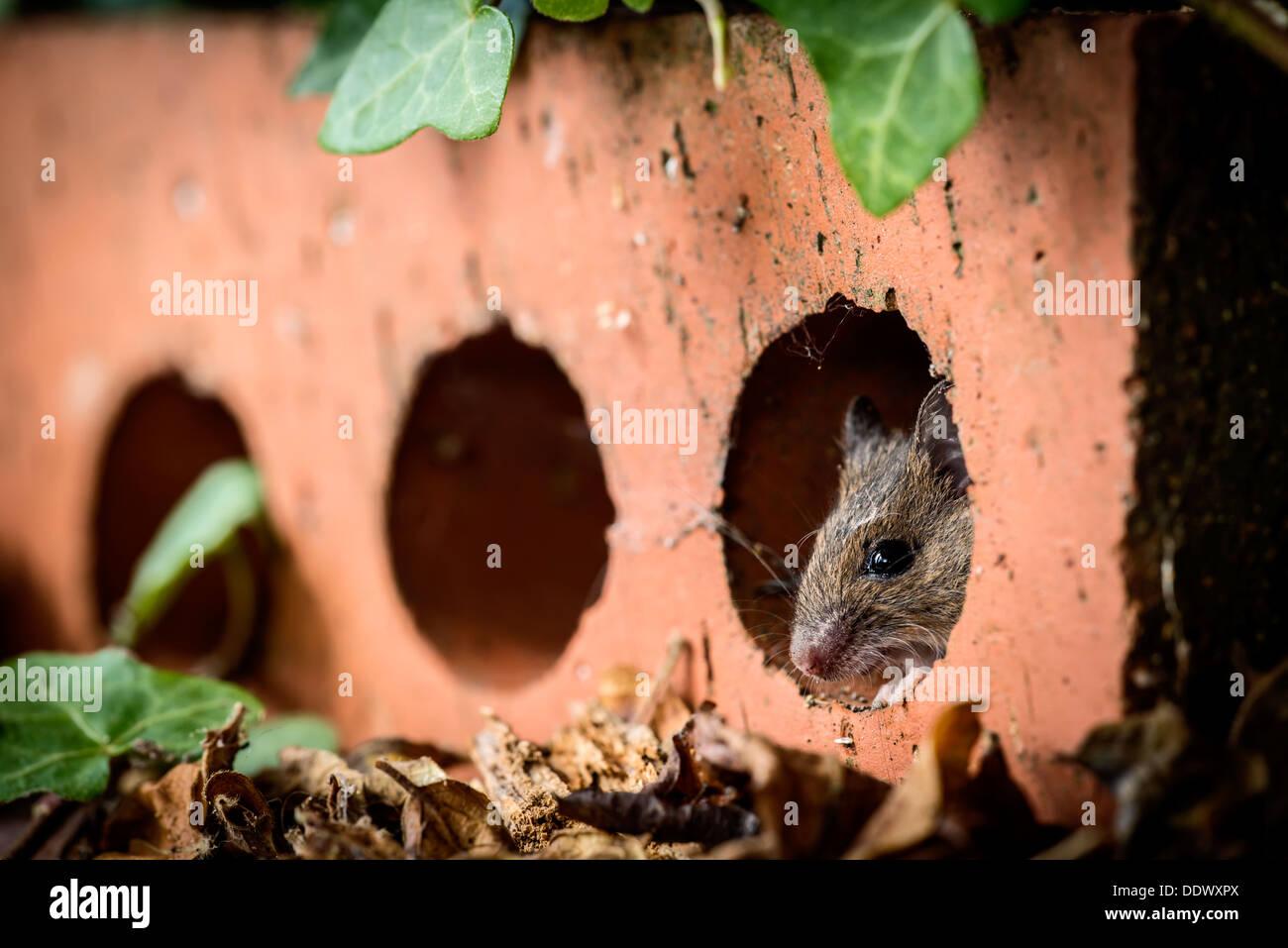Waldmaus versteckt im Inneren eine Haus-Ziegel Stockbild