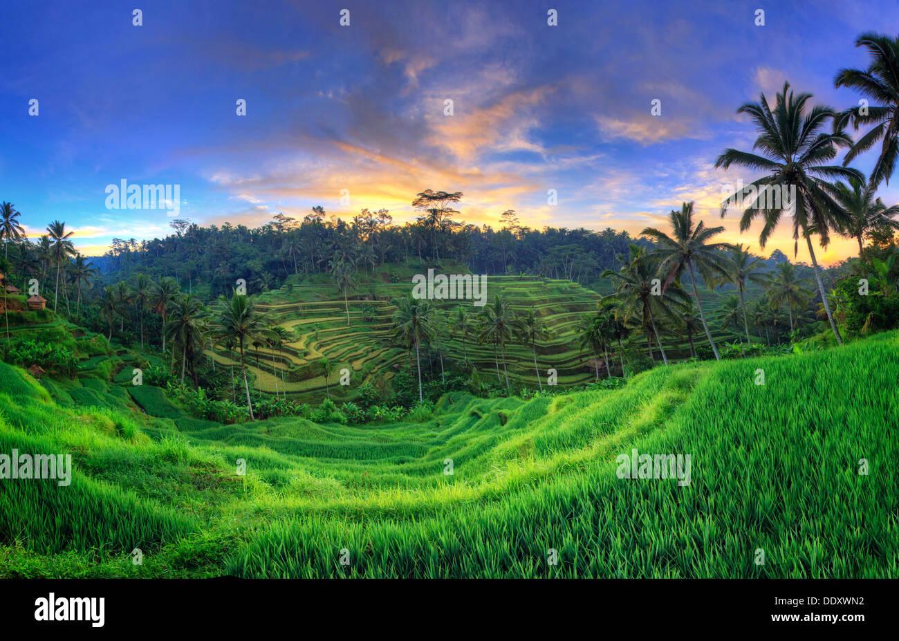 Indonesien, Bali, Ubud, Ceking Reis-Terrassen Stockbild
