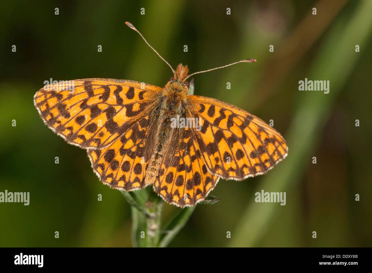 Webers Fritillary oder violett Fritillary (Boloria Dia) Stockbild
