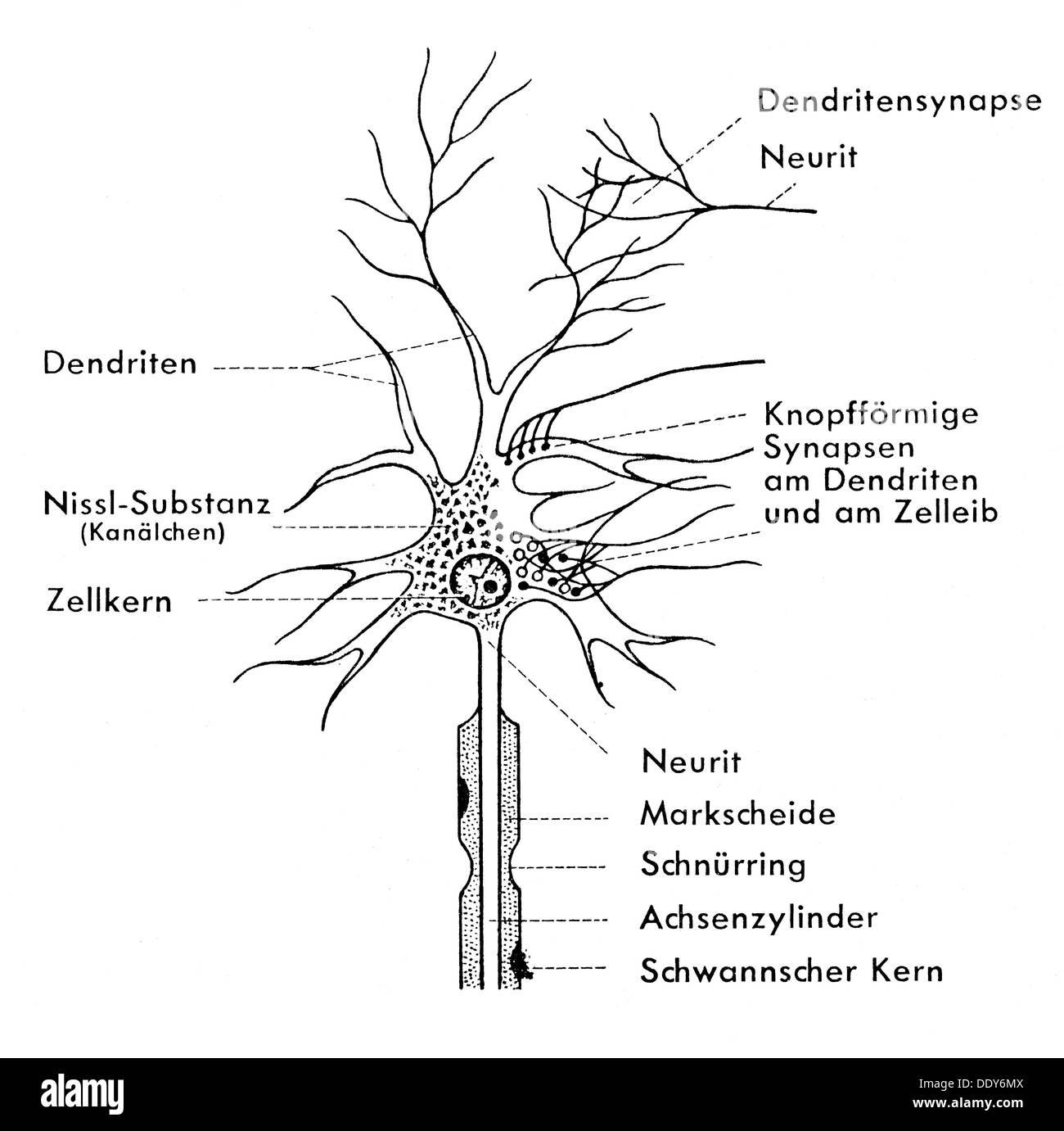Medizin Anatomie Nervenzelle schematische Darstellung einer Ganglion ...