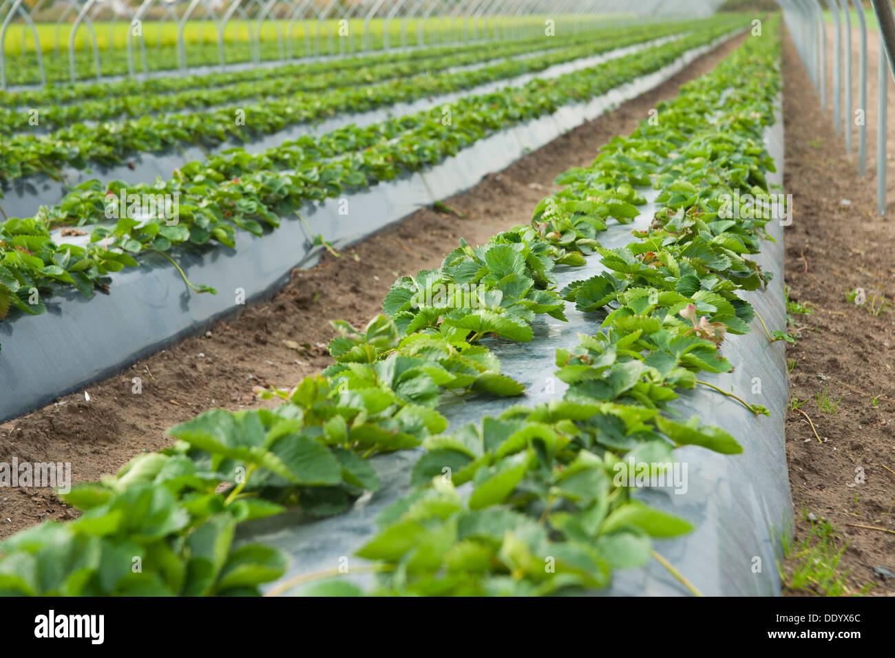 Erdbeer Hochbeet Stockfoto Bild 60234900 Alamy