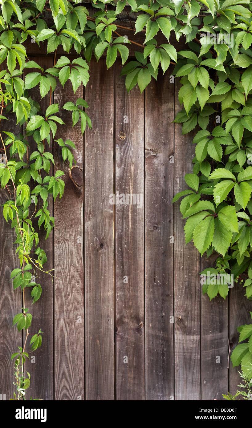 Holzzaun in natürlichen Efeu Reben Rahmen abgedeckt Stockfoto, Bild ...