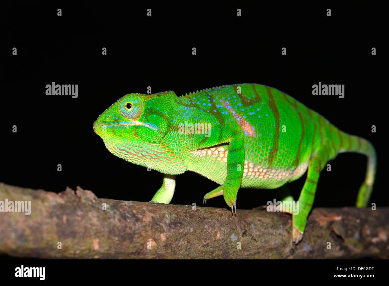 Timoni Chamäleon (Furcifer Timoni), einer neu entdeckten Spezies Chamäleon Stockbild