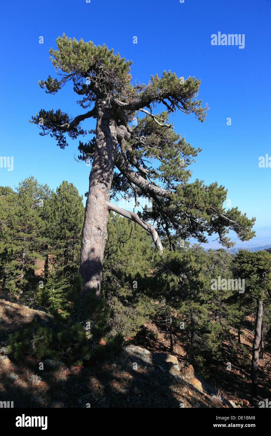 Zypern, Bäume, Kiefern im Troodos-Gebirge Stockbild
