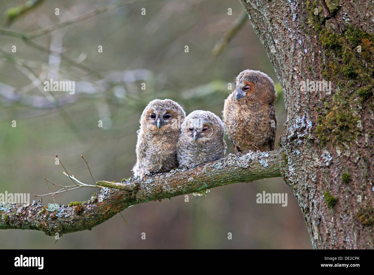 Drei junge Waldkäuze oder braun Eulen (Strix Aluco) thront auf einem Baum, Solms, Lahn-Dill-Kreis, Westerwald, Hessen, Deutschland Stockbild