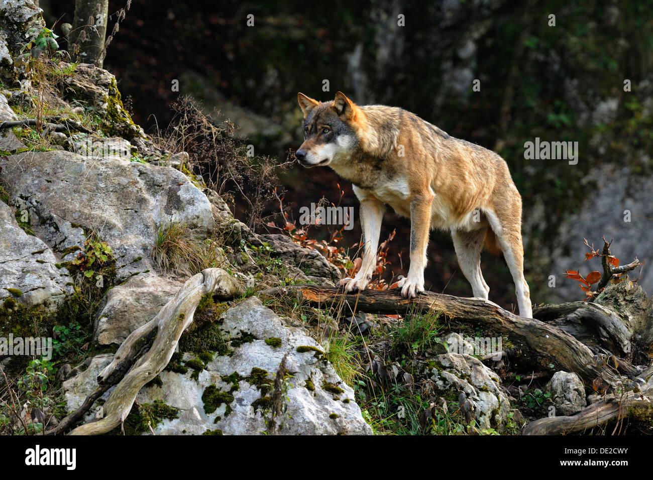 Wolf (Canis Lupus) stehend auf einem Ast Stockbild