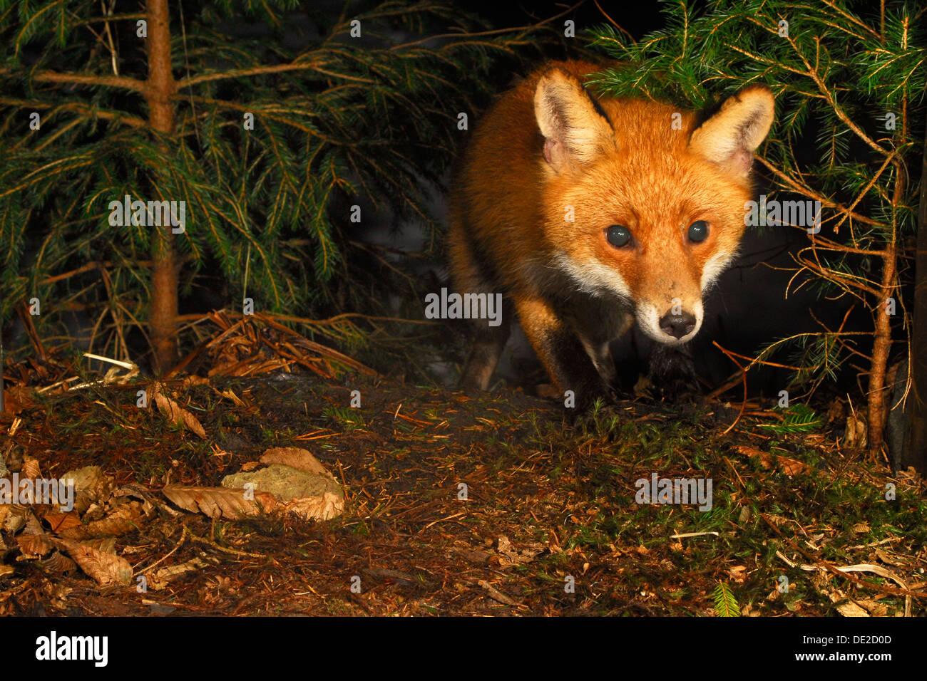 Rotfuchs (Vulpes Vulpes) in der Nacht jagen Stockbild
