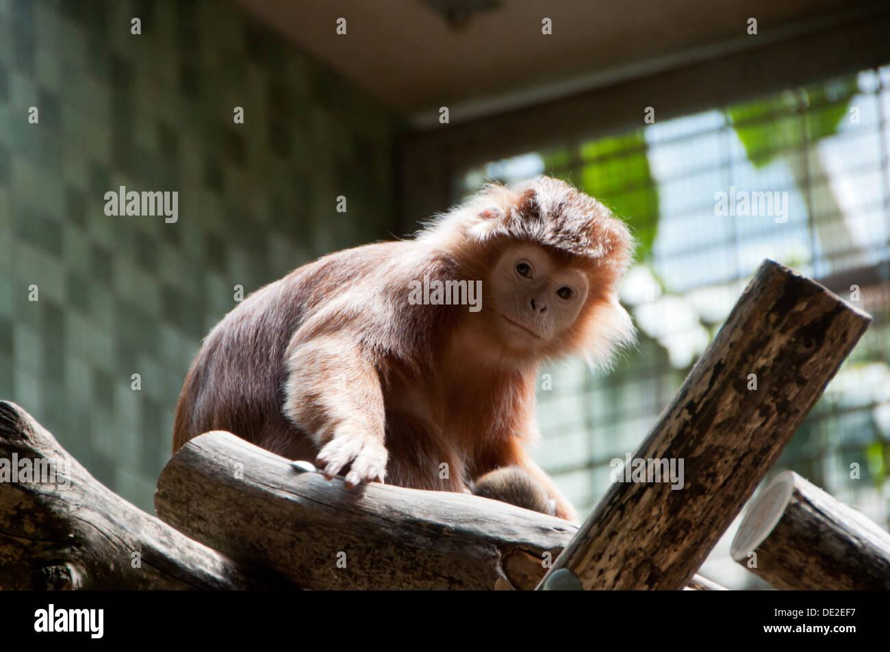 Ein kleiner Affe im Berliner Zoo sucht ein wenig traurig. Stockfoto