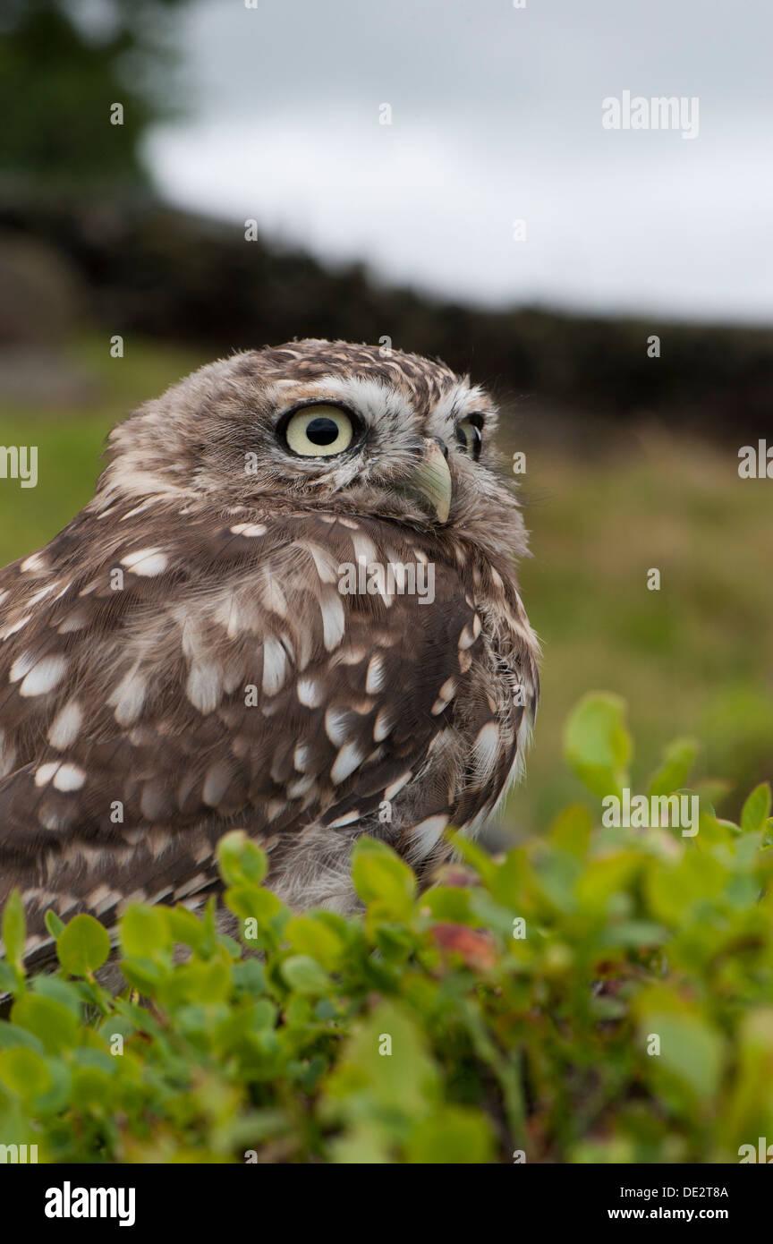 Steinkauz (Athene Noctua) thront auf Moorland, typische Lebensraum für den Vogel. In Gefangenschaft, UK. Stockfoto