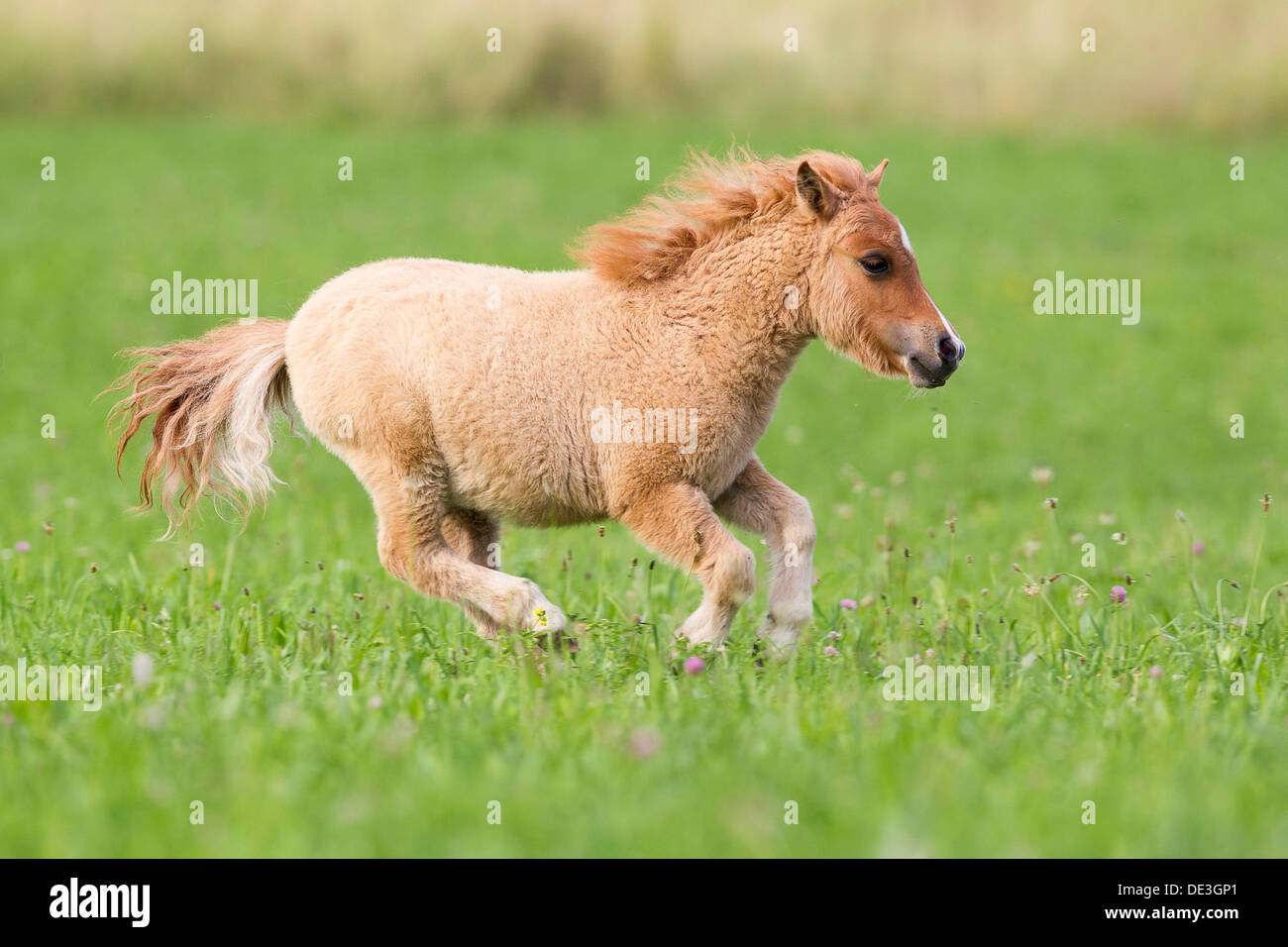 miniature shetland pony foal galloping stockfotos miniature shetland pony foal galloping. Black Bedroom Furniture Sets. Home Design Ideas