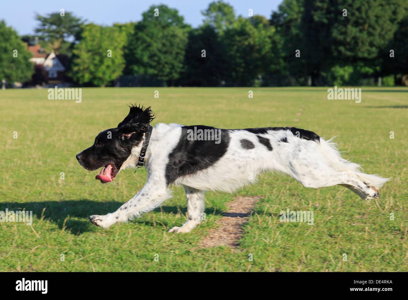 Eine reinrassige Black und White English Springer Spaniel Hund läuft schnell jagt einen Ball außerhalb allein in einem Park. England, UK, Großbritannien Stockbild