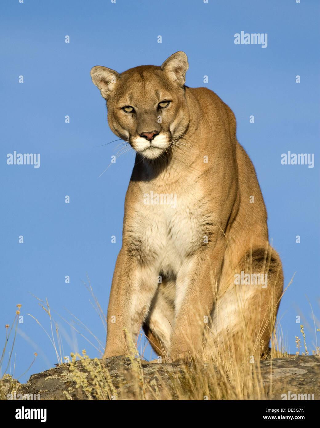 Puma Oben Stockfotos & Puma Oben Bilder Alamy