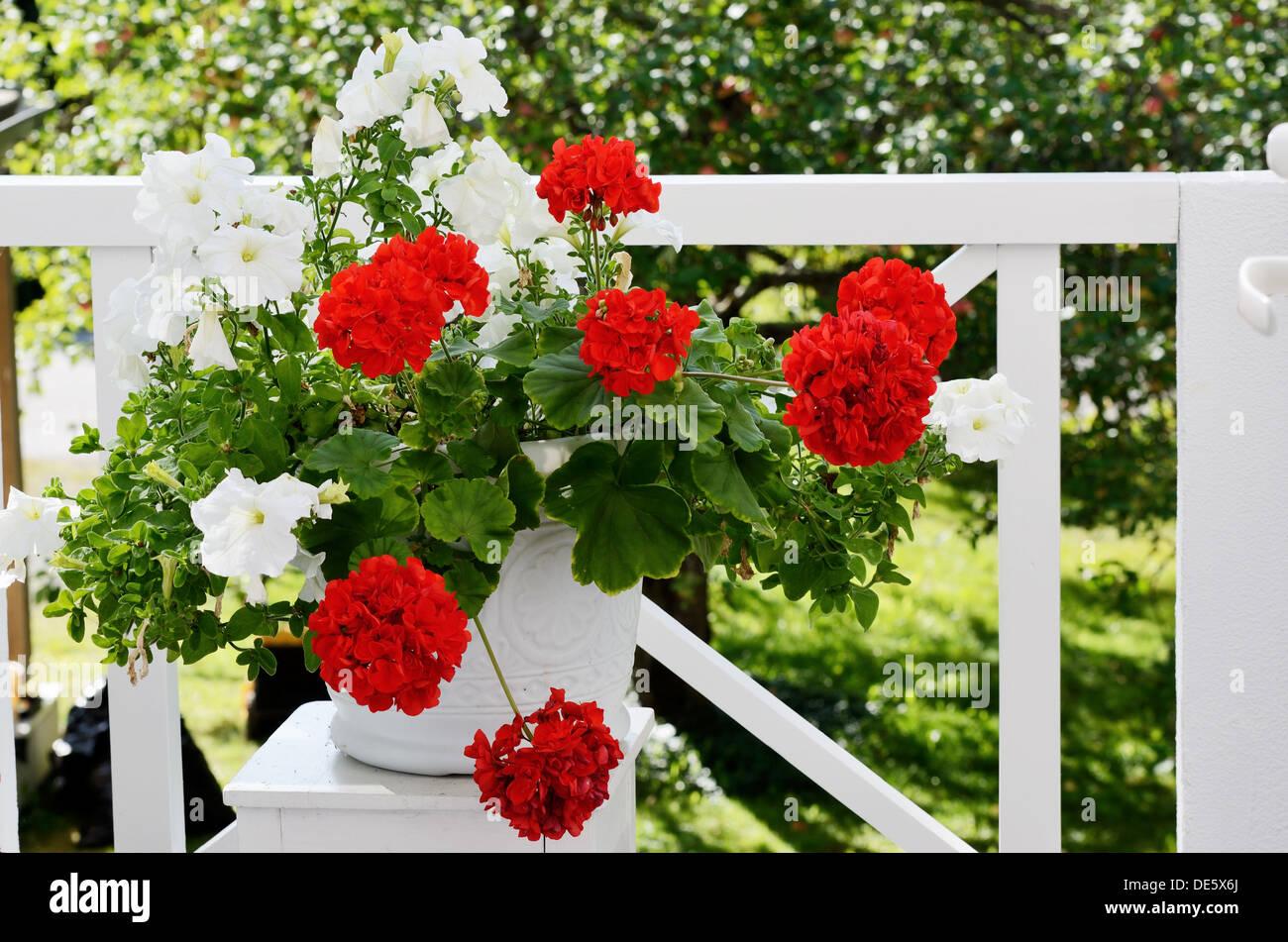 Geranien Blumen Im Weissen Topf Auf Dem Balkon Stockfoto Bild