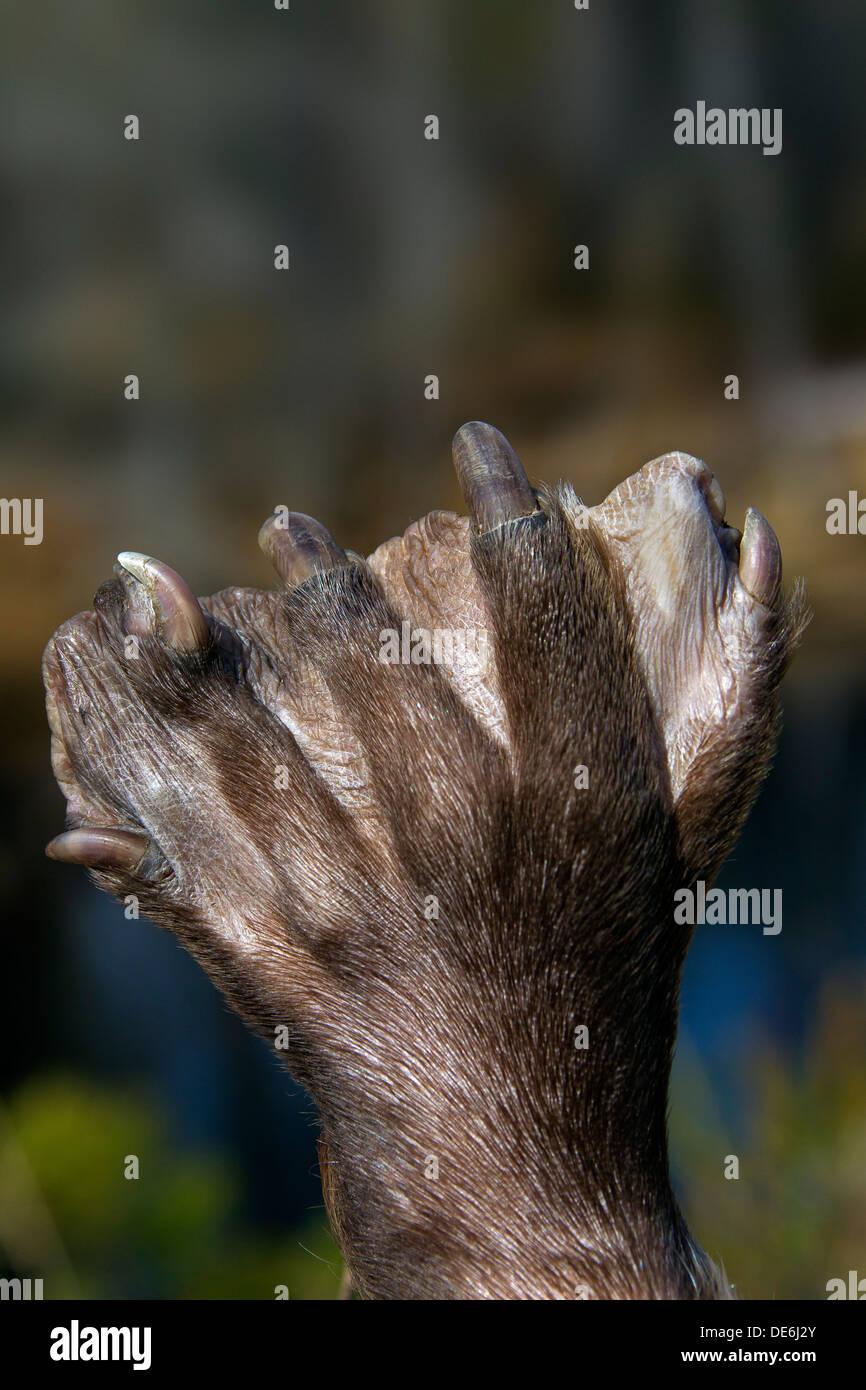 Europäischer Biber (Castor Fiber) Nahaufnahme von Schwimmhäuten Pfote Hinterbein Stockbild