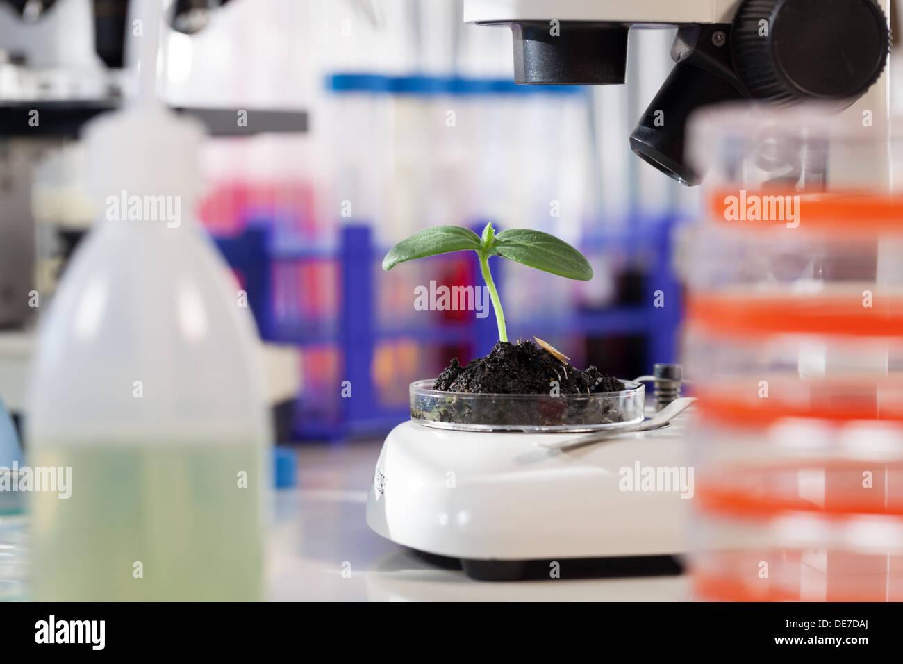 Grünpflanze im biologischen Labor Stockbild