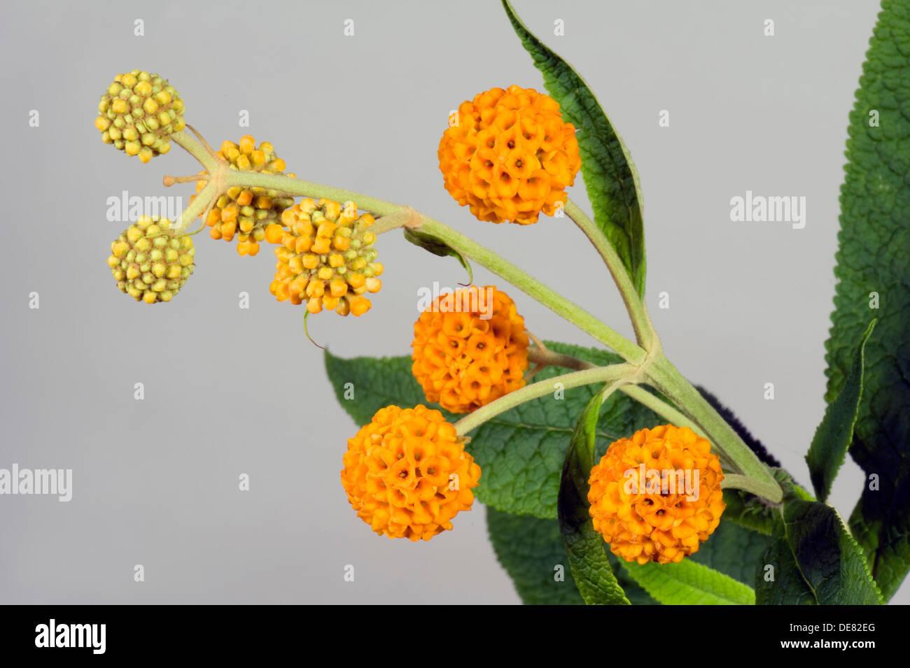 orange Kugel Buddleja, Buddleja Glabosa, große blühende Strauch Stockbild