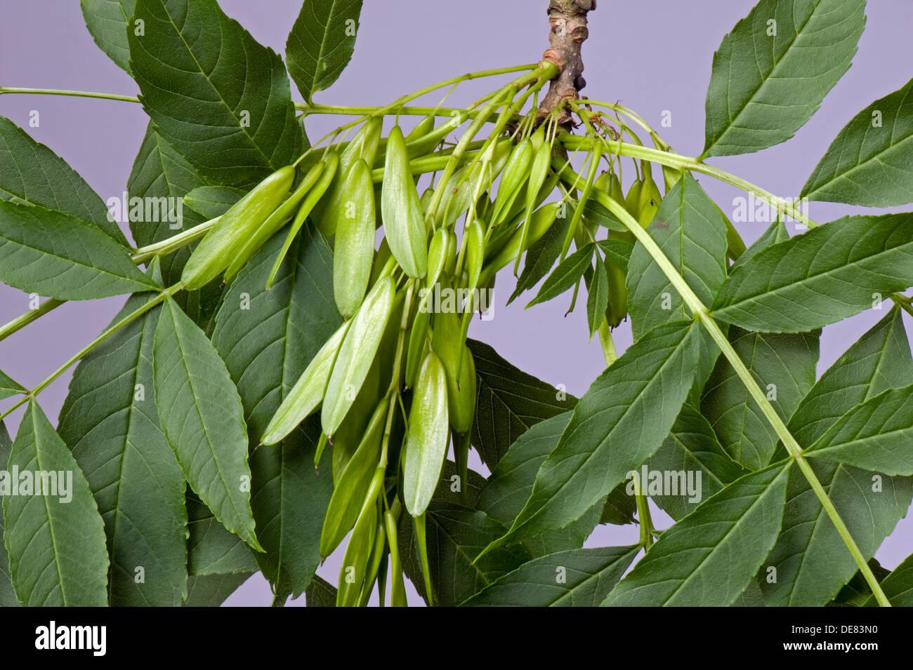 Samen oder Früchte einer Esche, Fraxinus Excelsior, bekannt als Schlüssel Stockbild
