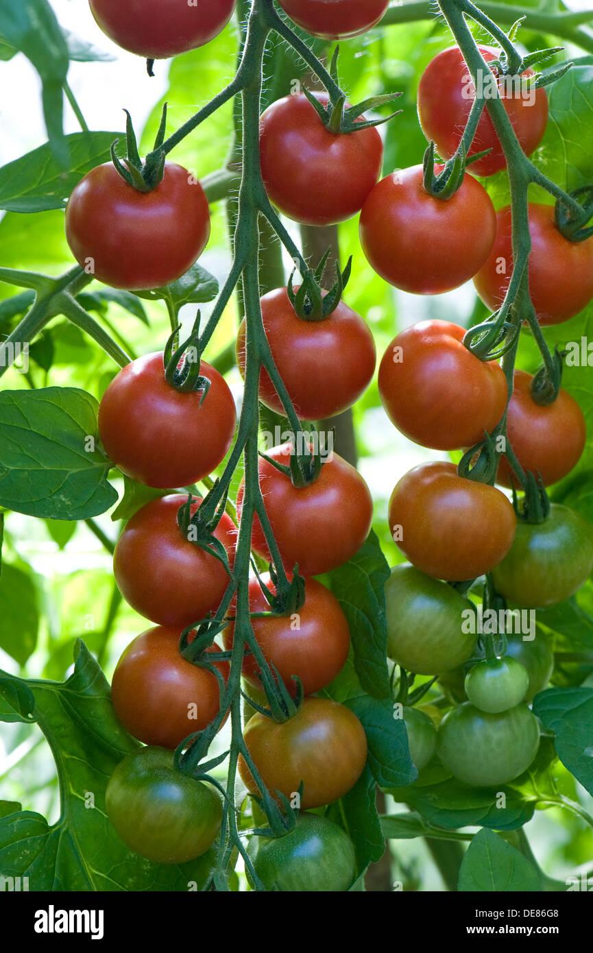 Reifende Fachwerk Gewächshaus gewachsen Gärtners Freude Cherry-Tomaten Stockbild