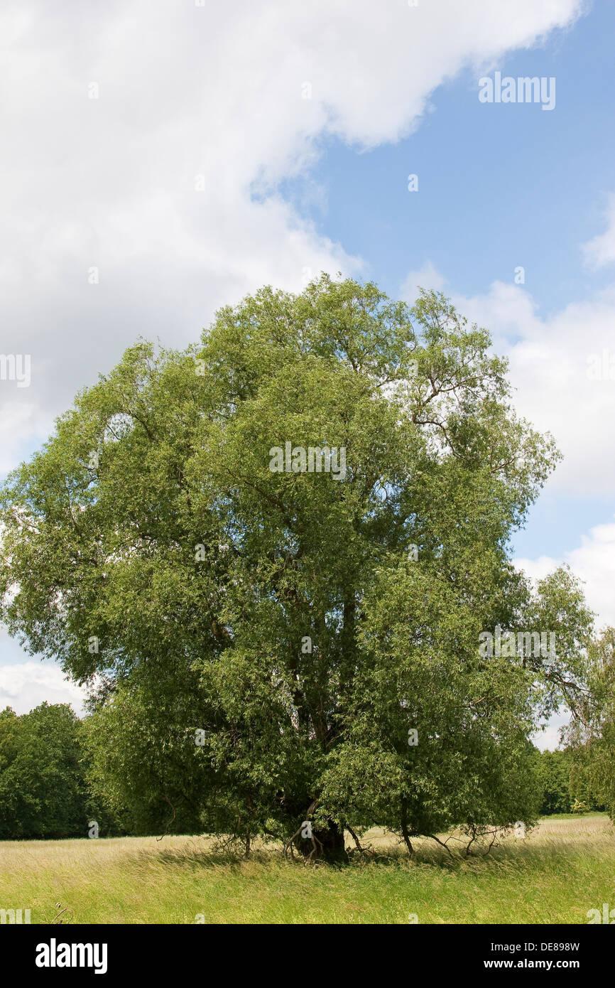 Bruch-Weide, Bruchweide, Knack-Weide, Knackweide, Weide, Weide, Salix Fragalis zu knacken Stockbild