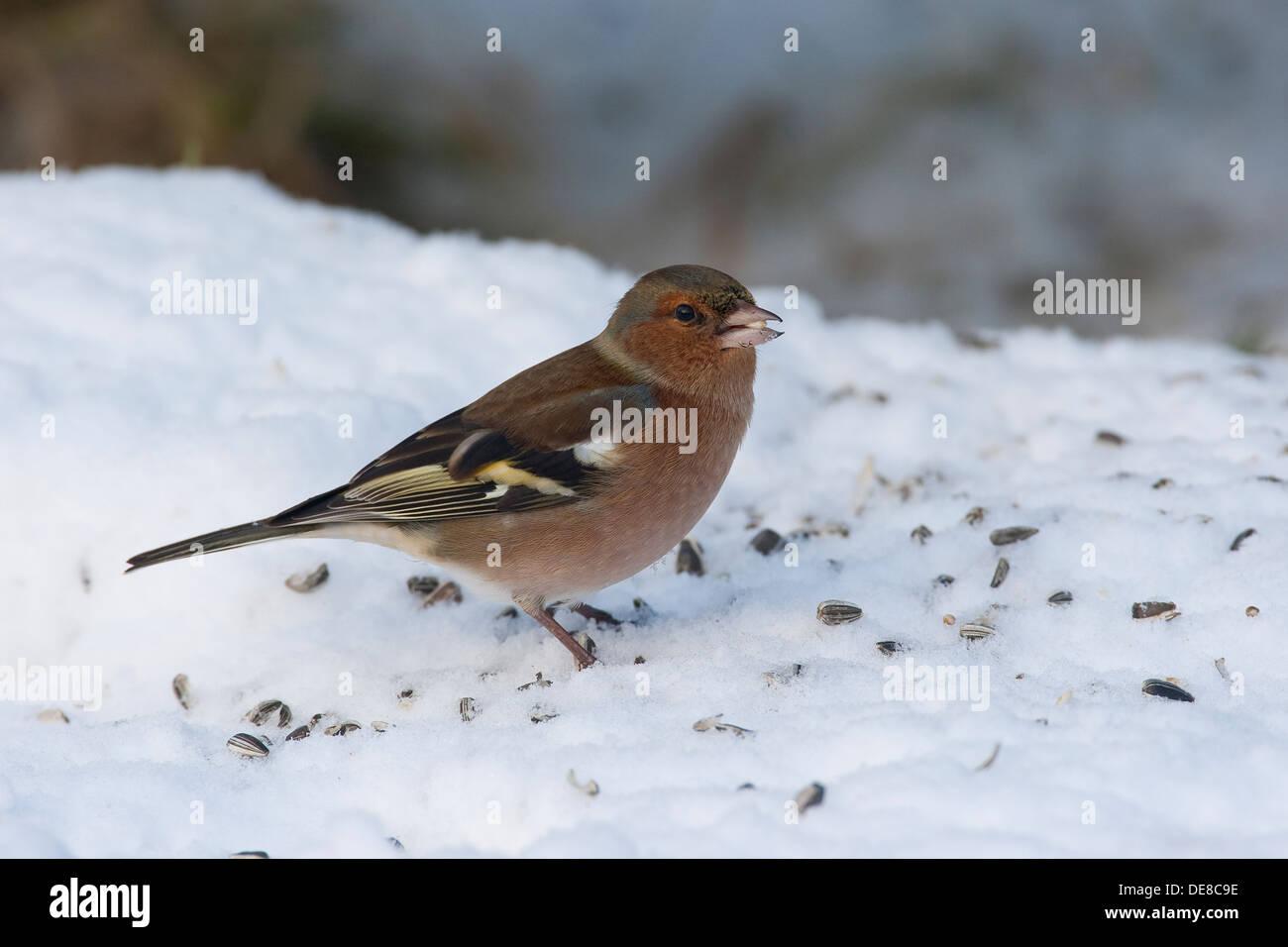 Buchfink, Männlich, Buchfink, Buch-Fink, Männchen, Fringilla Coelebs, Winter, Schnee, Schnee, Fütterung der Vögel, Winterfütterung Stockfoto