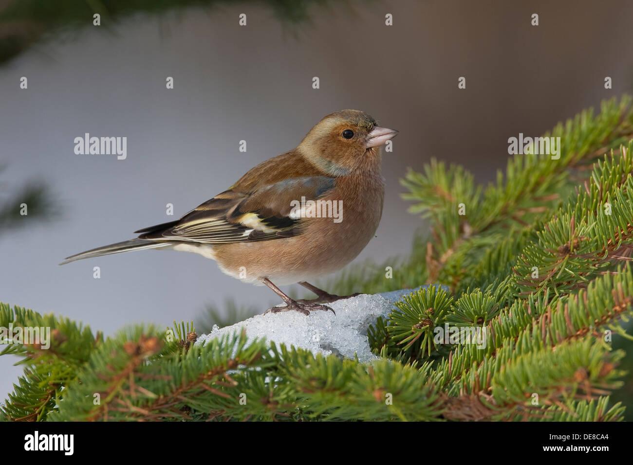 Buchfink, Männlich, Buchfink, Buch-Fink, Männchen, Fringilla Coelebs, Winter, Schnee, Schnee Stockfoto