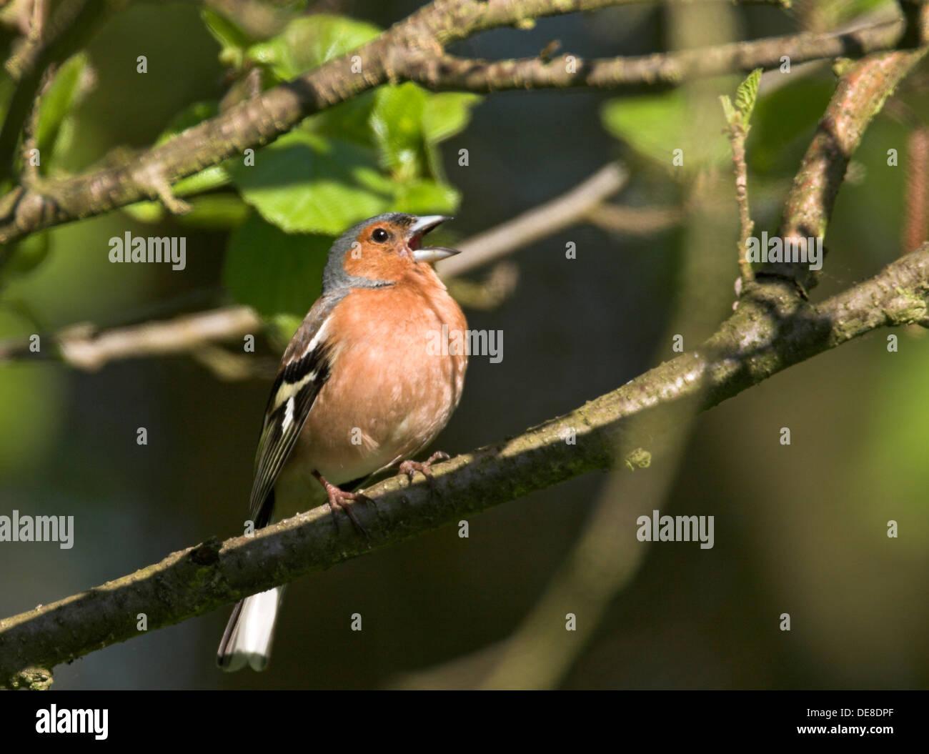 Buchfink, Männlich, Buchfink, Buch-Fink, Singendes Männchen, Fringilla Coelebs Stockfoto