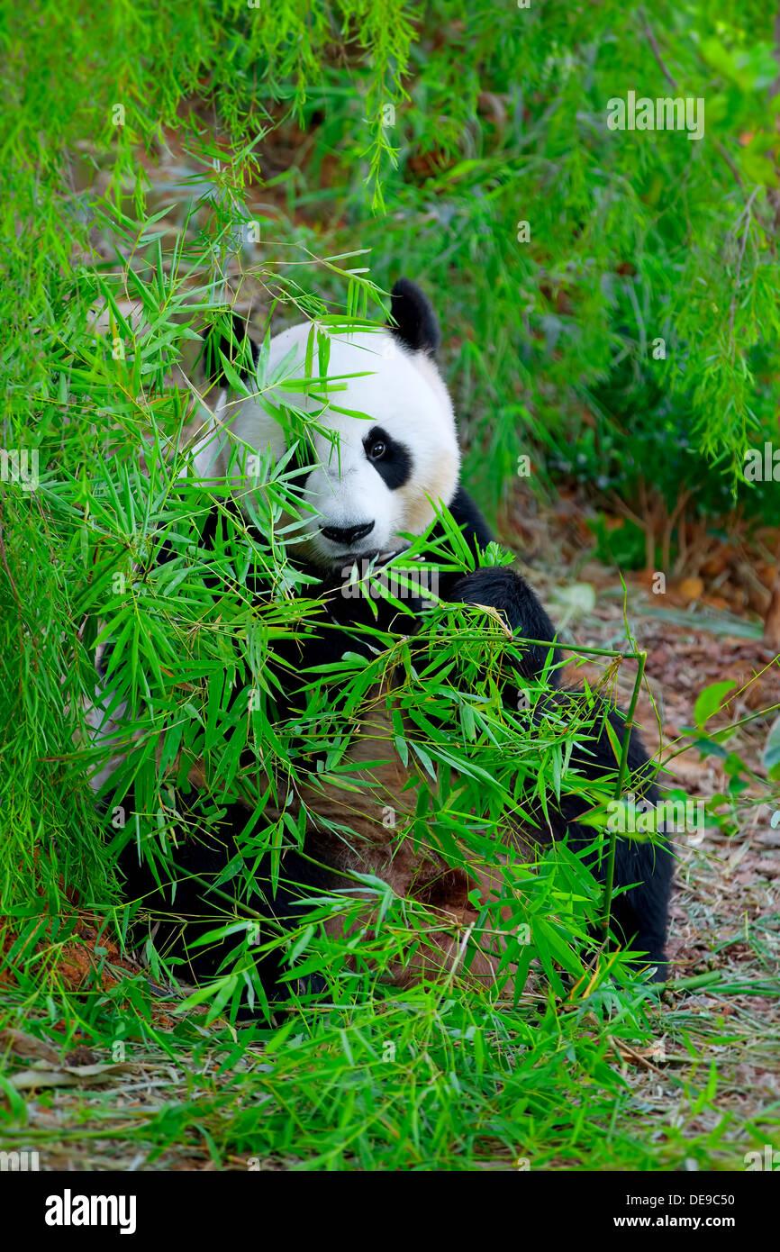 Großer Panda Stockbild