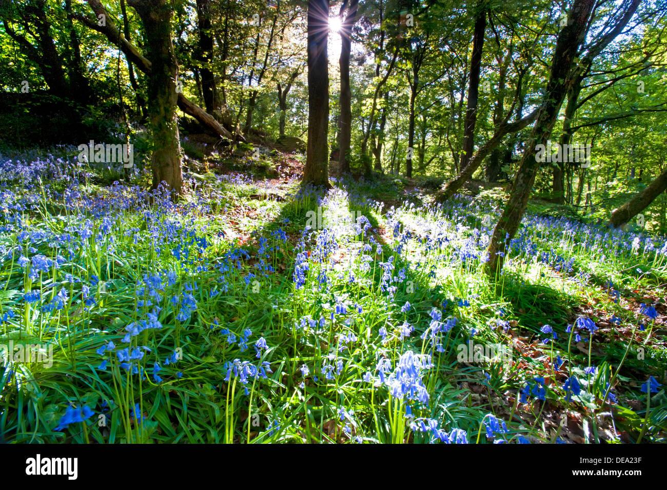 Licht und Schatten in einem Waldgebiet mit Glockenblumen, England, Großbritannien Stockbild