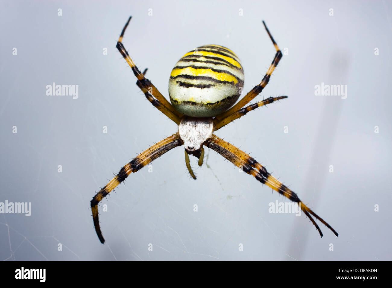 orb weben spinne wespe spider argiope bruennichi stockfoto bild 60471085 alamy. Black Bedroom Furniture Sets. Home Design Ideas