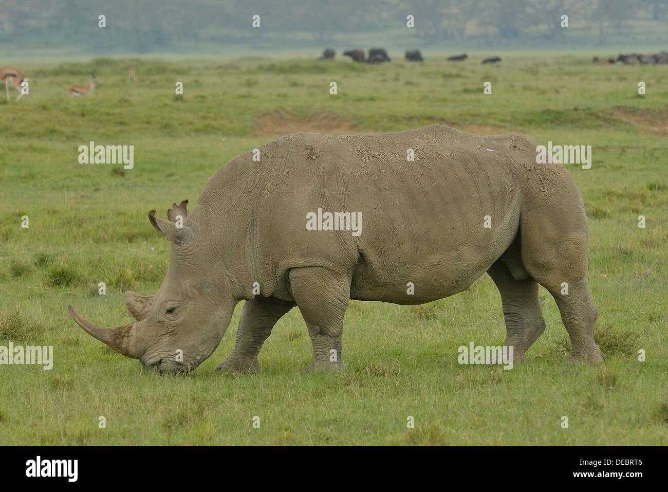 Breitmaulnashorn oder Square-lippige Rhinoceros (Ceratotherium Simum), Lake Nakuru National Park, in der Nähe von Stockfoto