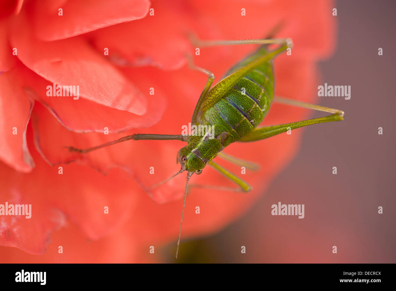 Speckled Bush-Cricket Leptophyes punctatissima Stockbild