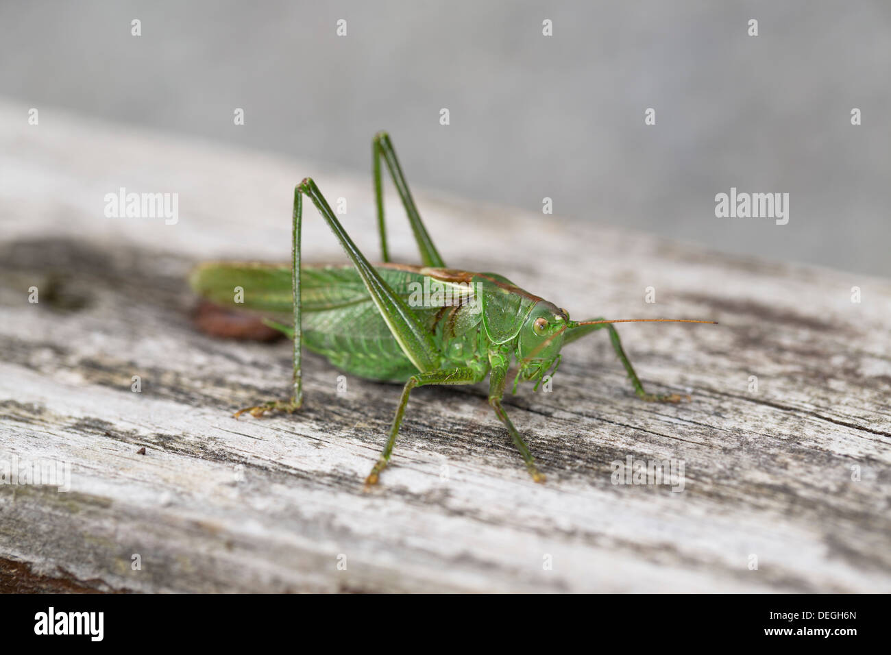 Große grüne Bush Cricket; Tettigonia Viridissima; Männlich; Herbst; Cornwall; UK Stockbild