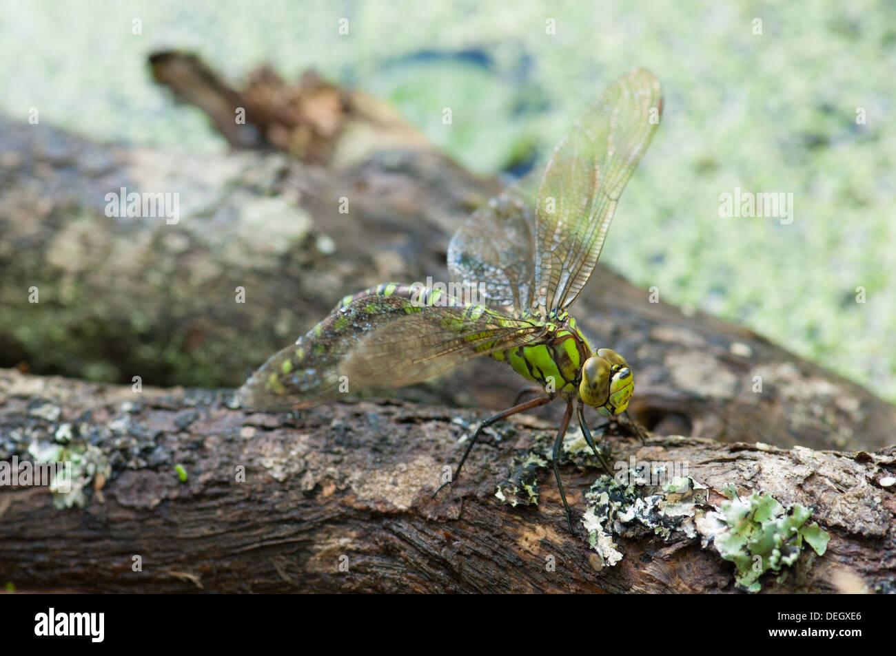 Weiblichen südlichen Hawker Libelle (Aeshna Cyanea) Eiablage auf aufgeweichten Zweig im Gartenteich Stockbild