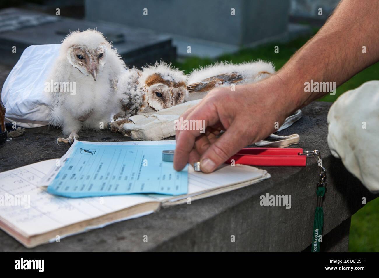 Vogel Wecker mit zwei Zangen und Notebook Schleiereule (Tyto Alba) Nestlingszeit Klingeln / Küken mit Metallringe am Bein Stockbild