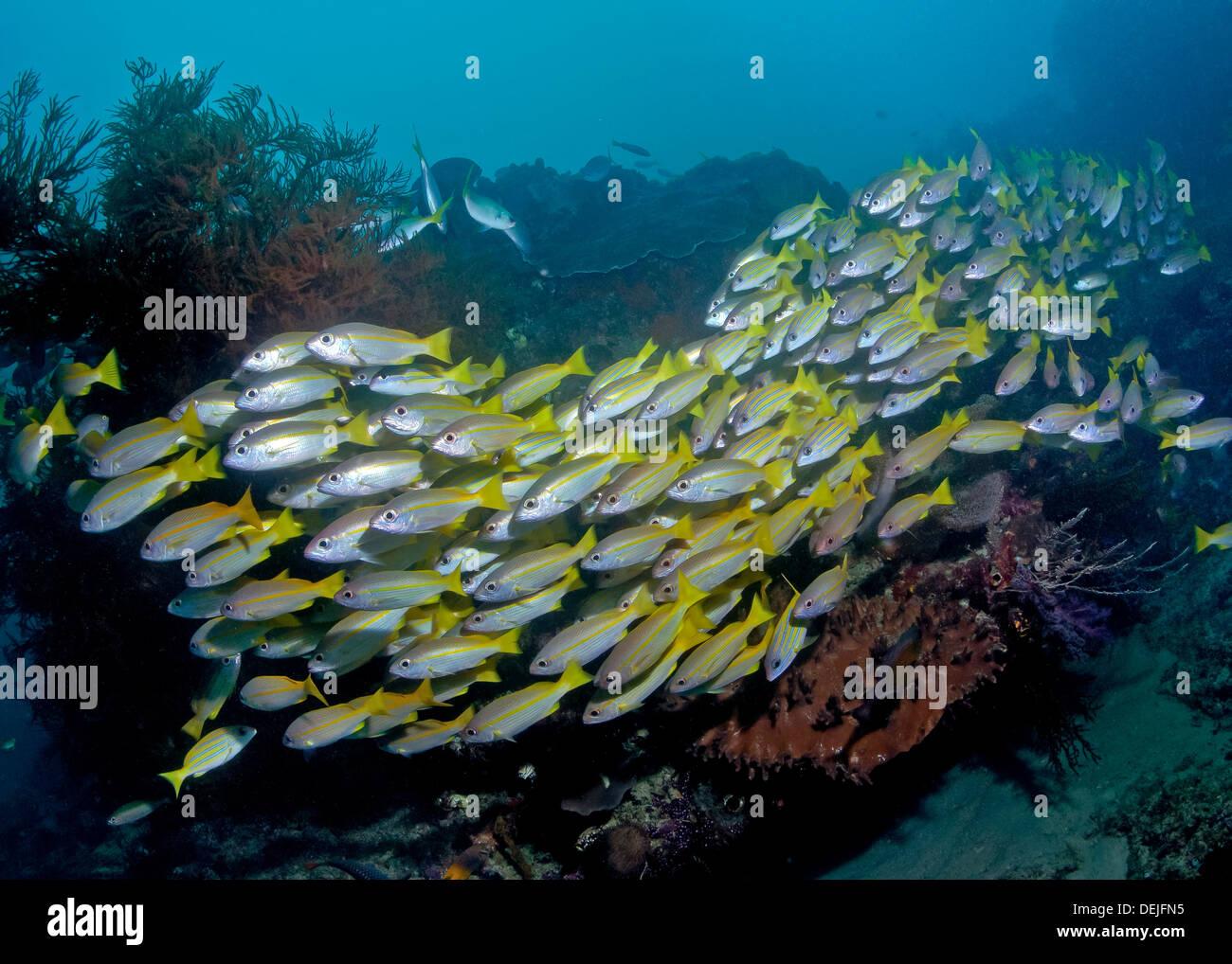 Eine Schule von gelb-Tail und blau gestreifte Snapper nachgestellte durch Korallenriff in Raja Ampat, Indonesien. Stockbild