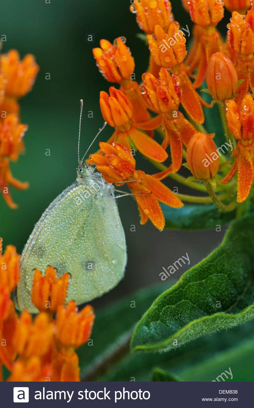 Wolkenlosen Schwefel Schmetterling (Phoebis Sennae) auf Schmetterling Wolfsmilch Stockbild