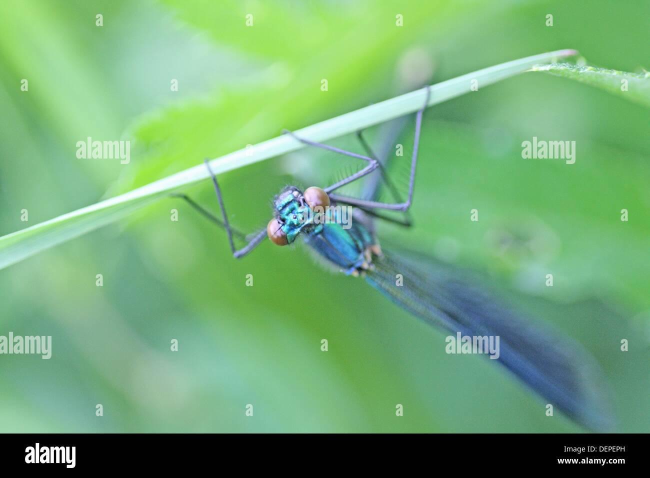 Banded Prachtlibelle Calopteryx Splendens klammert sich an Klinge Rasen männlich ist metallisch blau Oberkörper weiblich ist brillant Smaragd Stockbild